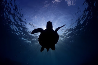 sea turtle, sea turtle populations, sea turtle silhouette