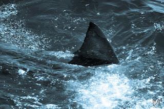 shark fin, shark trade bill