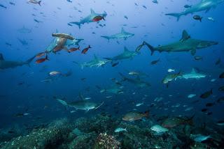 shark highway, cocos island, galapagos islands, sharks