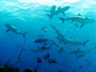 Shark and fish schools