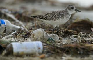shorebird, plastic pollutions, California