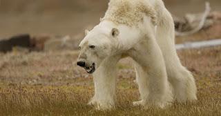 polar bear, climate change, starving polar bear