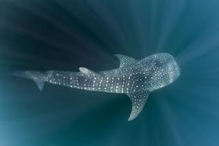 whale shark, whale shark appendix I