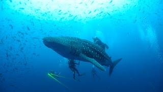 whale shark, shark finning, shark fin study