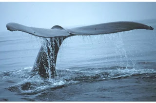 whale tail or fluke