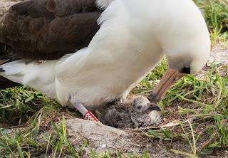Wisdom the albatross has a new chick!