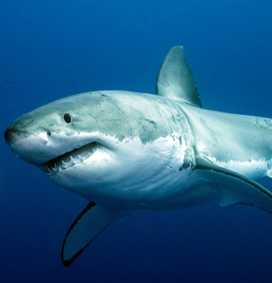 Sharks Officially Declared as Protected Wildlife in Costa Rica