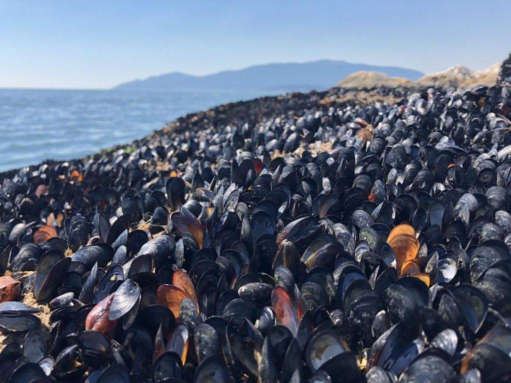 mussels in B.C.