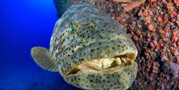 Florida Goliath Grouper Faces Uncertain Future